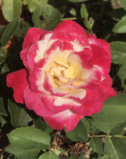 5 Garden Hybrid Tea Rose Cuttings Ready To Plant and Root Fast Shipping