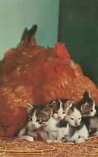 Vtg Postcard Chicken and Adopted Kittens Motherly Love Chrome Posted 1961