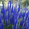 400pc Mehrfarben Speedwell Blumensamen mehrjährige einfache Bodendecker