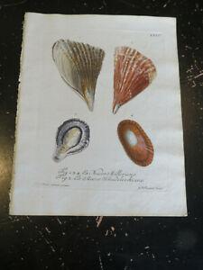 Shells - Wolfgang Knorr, Nuremberg, ca: 1764, Plate XXVI