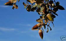 10 Quercus ilex SEMI SEEDS ALBERI QUERCIA LECCIO KORN +