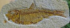 ► KNIGHTIA EOCAENA CM 13.30 x 8.30  QUALITA' AAAA+ PESCE FOSSILE - FOSSIL FISH ◄