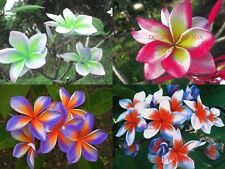Plumeria Seeds 25 Ct Fresh