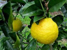 10 NANSHO DIADIA SOUR ORANGE SEEDS - citrus taiwanica - cold hardy