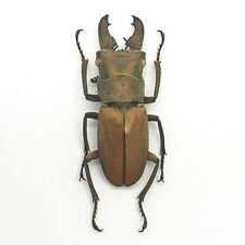 Tiny Longjaw Beetle cyclommatus dehaani Insect Specimen Taxidermy