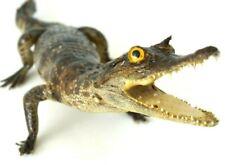REAL TAXIDERMY CROCODILE 32cm STUFFED ANIMAL HOME DECOR GIFT UNIQUE EXOTIC RARE
