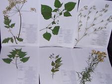 Herbarium Pflanzensammlung; 20 gepresste + bestimmte, Pflanzen AUSWÄHLEN