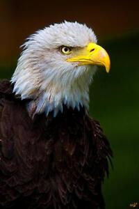 Eagle Eyed by Chris Lord Photo Art Print Poster 24x36 inch