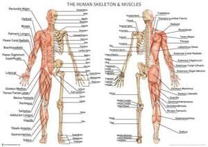 Human Skeleton with Muscles Anatomy Diagram A2 Poster 59cm x 42cm Print BLPA2P15