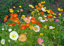poppy, ICELAND, perennial poppies, flower, 725 SEEDS! GroCo*