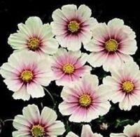Cosmos - Daydream - 25 Seeds
