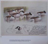 Schöne Vintage Vogel Aufdruck ~ Kanada Geese ~ Tunnicliffe