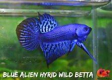 Royal Blue Alien Hyrid Wild Live Betta Fish High Quality A+++ VIP  - USA Seller