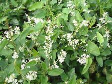 Russian Vine Mile A Minute Fallopia Baldschuanicum Climbing Plant