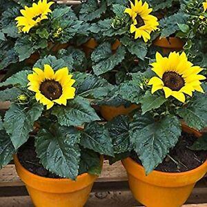 30 Miniature Pygmy Sunflower Flower Seeds Helianthus Annuus