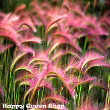 Foxtail Barley - 310 seeds - Hordeum jubatum - Ornamental Grass - Cutting Border