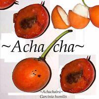 ~Achachairu~ Garcinia humilis ~HONEY KISS~ Fruit Tree Live Small Potted Plant
