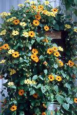 black-eyed susan vine, THUNBERGIA, 55 SEEDS! GroCo