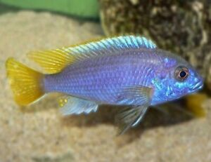 Yellow tailed Acei 2-2.5 inch (group of 5) African Cichlid Mbuna Lake Malawi