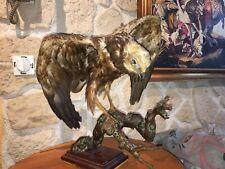 taxidermie ancienne ,  Busard Des Roseaux naturalisé oiseau cabinet de curiosité