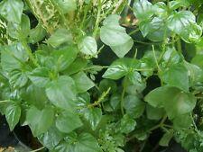 100 seeds peperomia pellucida Pansit-pansitan It is a healthy herb.