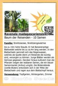 Ravenala madagascariensis, Baum der Reisenden, Traveler's Tree, 10 Samen