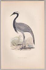 Kranich, Crane, Numidian - Dekorativer Stich Handkoloriert (alt) um 1890