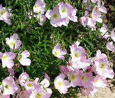 PRIMROSE SHOWING EVENING Oenothera Speciosa - 11,000  Bulk Seeds