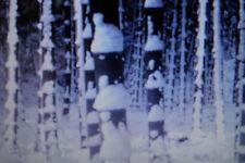 10 GIGANTE semi Bambù Pubescens, Moso, inverno fino a -20 gradi C #1