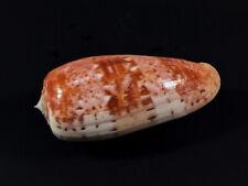 Conus bullatus, Panglao, 59,7 mm, VERY NICE, SELECTED