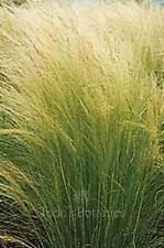 3 x Stipa tenuissima Pony Tails ornamental grass perennial garden plants 9cm pot