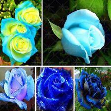 100pcs/bag Rare Blue Rose seed Flowers Seeds Lover blue Home Garden plants rose