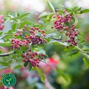 10 seeds of Chinese Pepper - ZANTHOXYLUM SIMULANS + 5 seeds of Sunflower