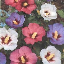 15+ ROSE OF SHARON FLOWER SEEDS MIX / HIBISCUS / PERENNIAL