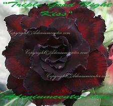 """ADENIUM OBESUM DESERT ROSE TRIPLE FLOWER """" TRIPLE GOOD NIGHT KISS """" 20 seeds NEW"""