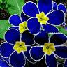 100pcs seltene blaue Nachtkerzen-Samen einfach zu pflanzen Garten-Dekor-Blu P9J7