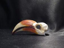 Rare crâne d'un calao de Decken ostéologie taxidermie hornbill