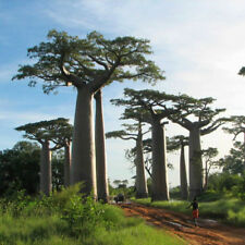2 pcs Adansonia Digitata African Baobab Tree bonsai seeds