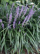 Dwarf Liriope Ornamental Border Grass Lily- live plants, 5 plants per order