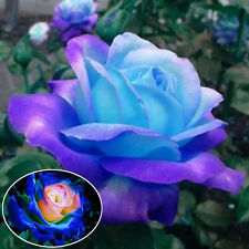 50Pcs Blue-Pink Party Rose Flower Seeds Garden Bonsai Rare Romantic Decoration