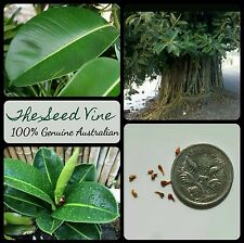 10+ RUBBER FIG TREE SEEDS (Ficus elastica) Indoor Air Purifier Cultural Sacred