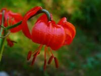 Lilium Pumilum * Scarlett Lily Fragrant * Very Rare * 5 Seeds *
