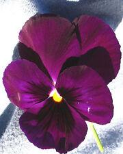 25 graines de Pensée Géante Violette(Viola wittrockiana)X195 PURPLE PANSY SEEDS