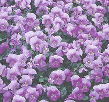 Hornveilchen Viola Lavender Ice zweijährig Höhe 15 cm Samen