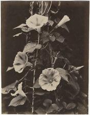 Photo Alinari Albuminé Fleur Flower Vers 1880