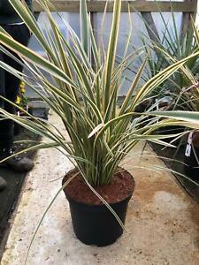 1X LARGE PHORMIUM GOLD RAY EVERGREEN SPECIMEN SHRUB PLANT 50-60cm 7.5L