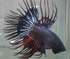 live Tropical Fish-Black Devil Crowntail Betta I37