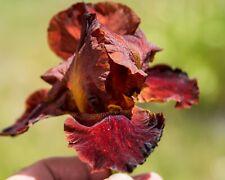 *Cajun Spices* Tall Bearded Iris. Freshly Dug, Combined Shipping: Aug/Sep