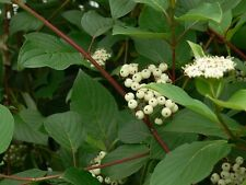 Cornus stolonifera seeds - Red Osier Dogwood - wild harvested from the forest