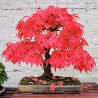 20pc Rare Beautiful Red Maple Pflanzen Samen Red Maple Bonsai-Baum best